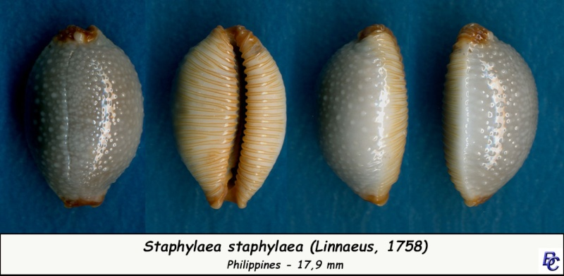 Staphylaea staphylaea staphylaea - (Linnaeus, 1758) Staphy12
