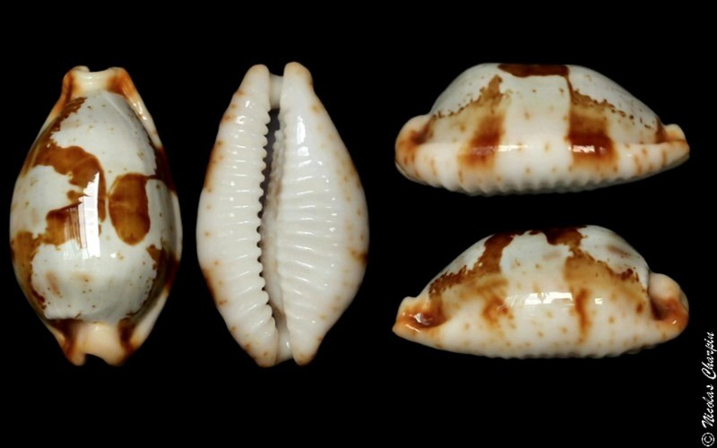 Bistolida stolida crossei - (Marie, 1869) Stolid10
