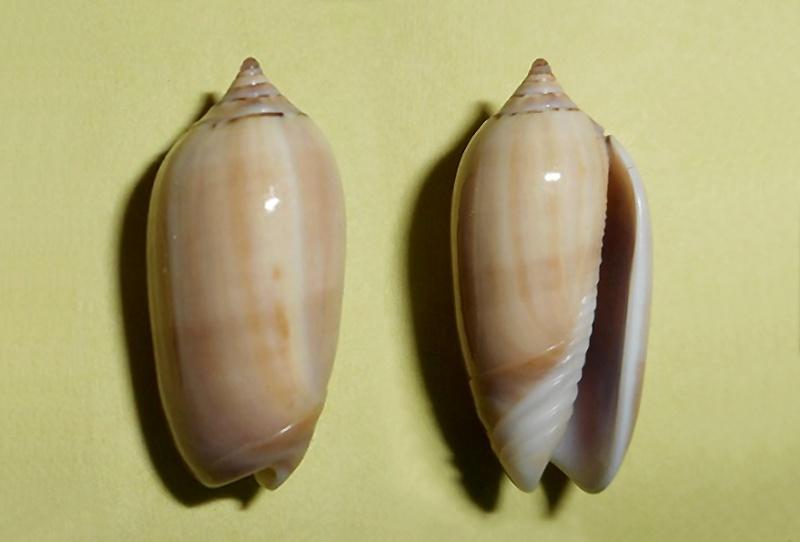Americoliva flammulata f. isabellina (Dautzenberg, 1910)  - Worms = Oliva flammulata Lamarck, 1811 - Page 2 Streph11