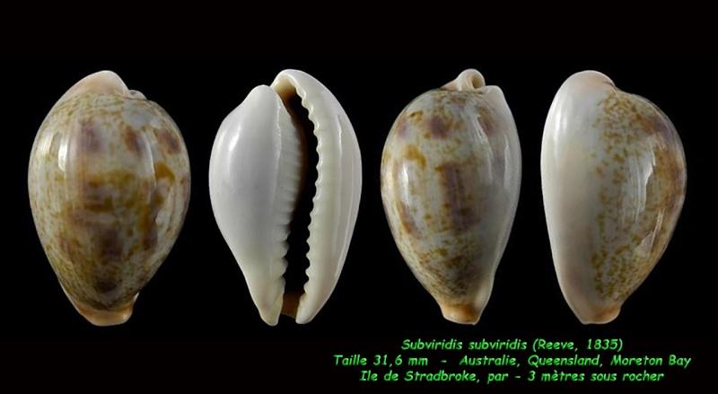 Erronea subviridis subviridis - (Reeve, 1835)  Subvir18