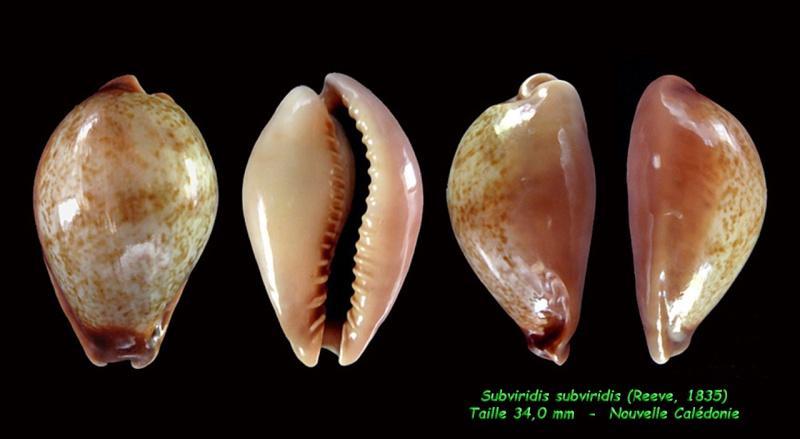 Erronea subviridis subviridis - (Reeve, 1835)  Subvir19