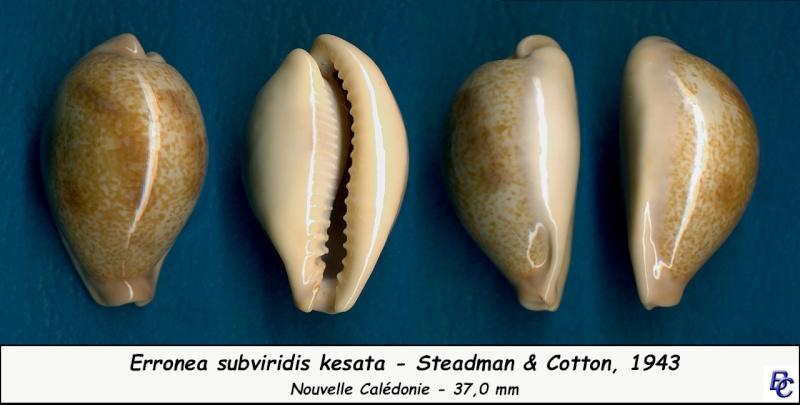 Erronea subviridis kesata - Steadman & Cotton, 1943 Subvir23