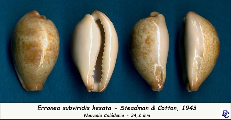 Erronea subviridis kesata - Steadman & Cotton, 1943 Subvir24