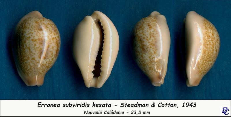 Erronea subviridis kesata - Steadman & Cotton, 1943 Subvir26