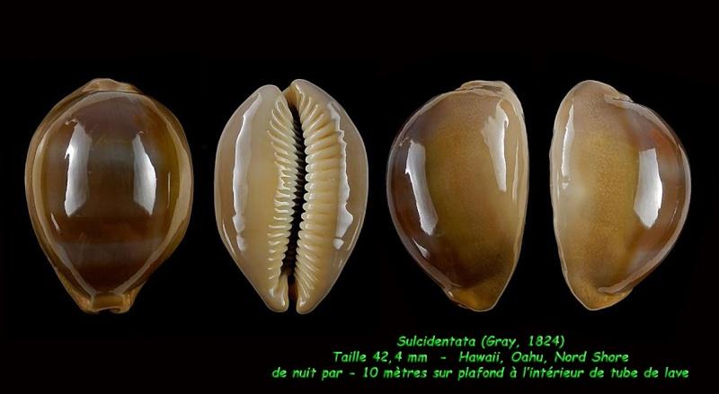 Lyncina sulcidentata - (Gray, 1824) - Page 2 Sulcid10