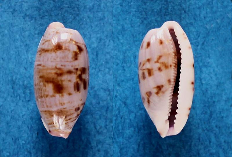 Talostolida violacincta - (Lorenz, 2002) Talost10