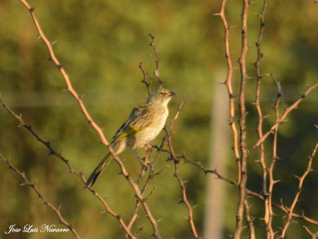 Cachilo ceja amarilla (Ammodramus humeralis) Dsc_0019