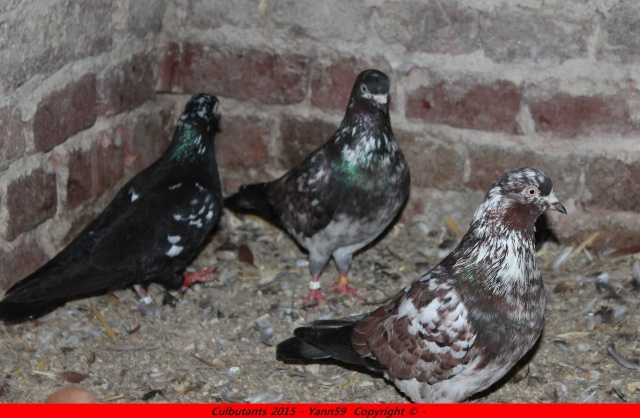 Mes pigeons - Page 2 Img_1312