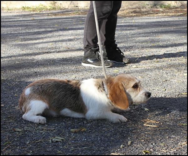 LIBELLE Beagle croisée griffon Img_3222