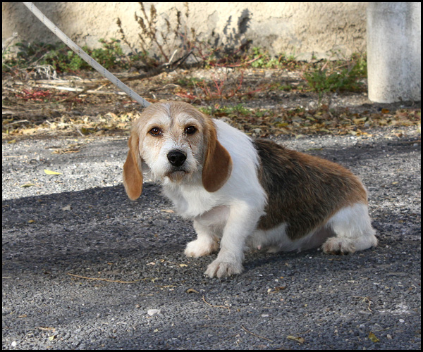 LIBELLE Beagle croisée griffon Img_3223
