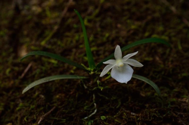 Angraecum cucullatum Angrae14