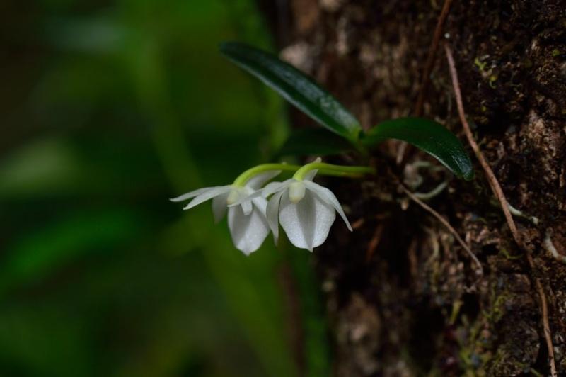 Angraecum cucullatum Angrae15