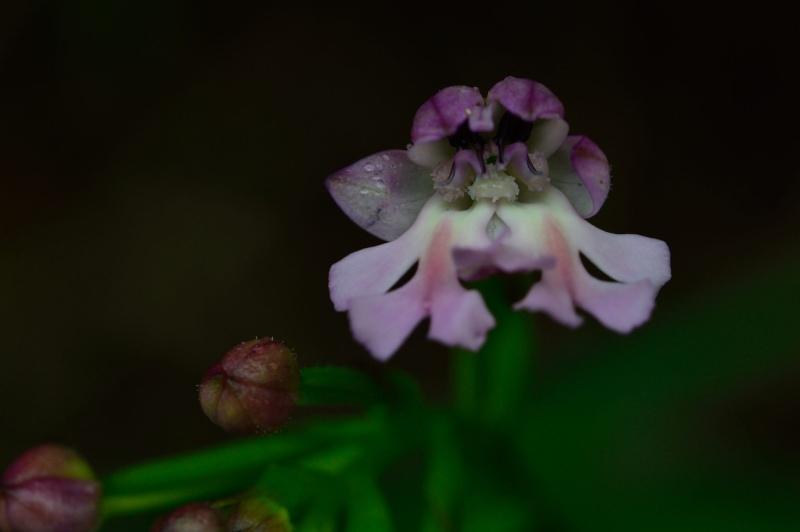 Lusus de Cynorkis purpurascens Cynork16
