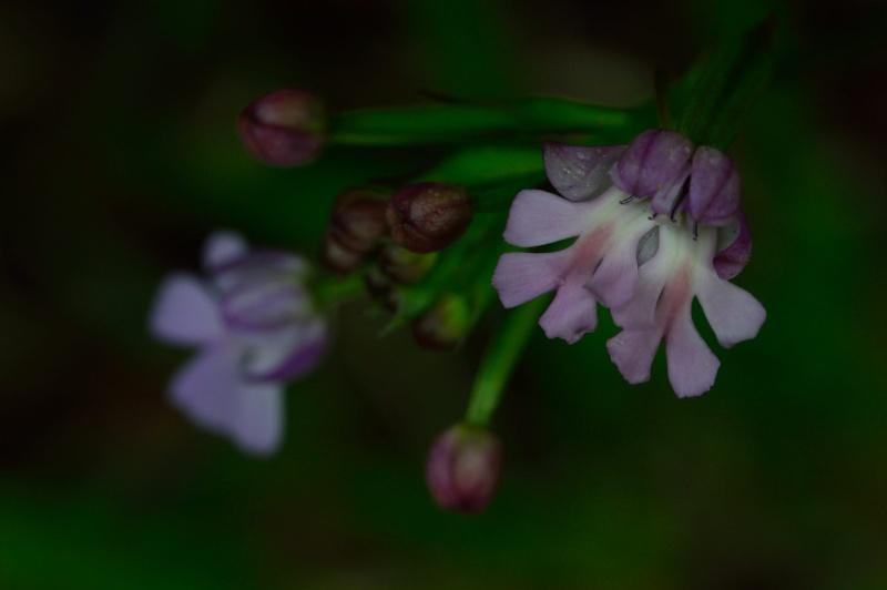 Lusus de Cynorkis purpurascens Cynork17