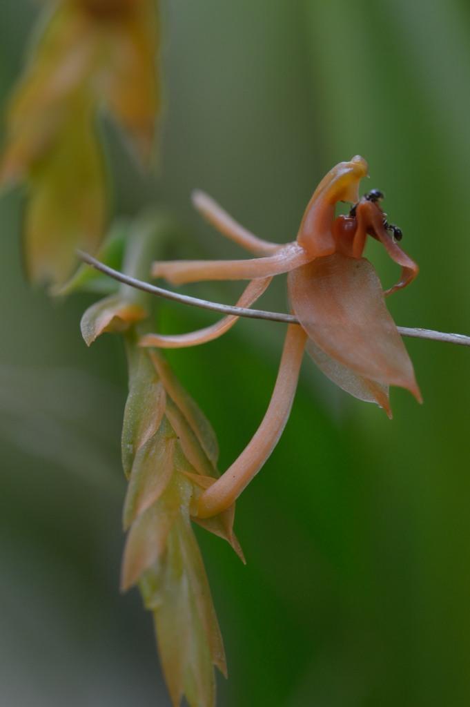 Nectar de Liparis disticha Lipari10