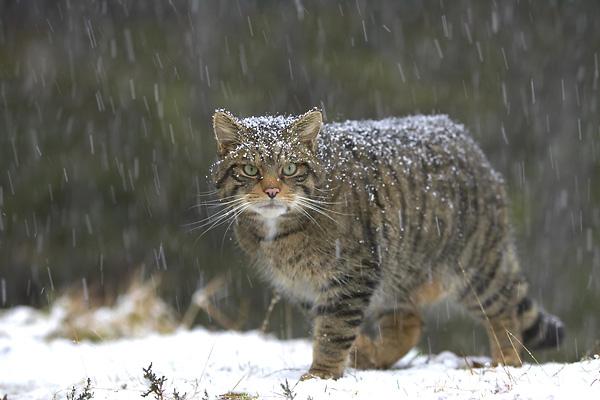 Wildcats Bm-wil10