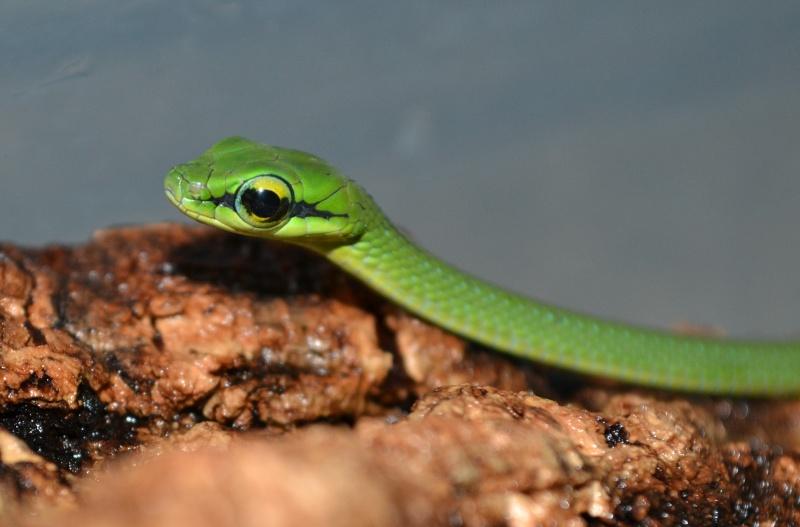 Naissance : Hapsidophrys smaragdina NC !! - Page 2 Dsc_0419