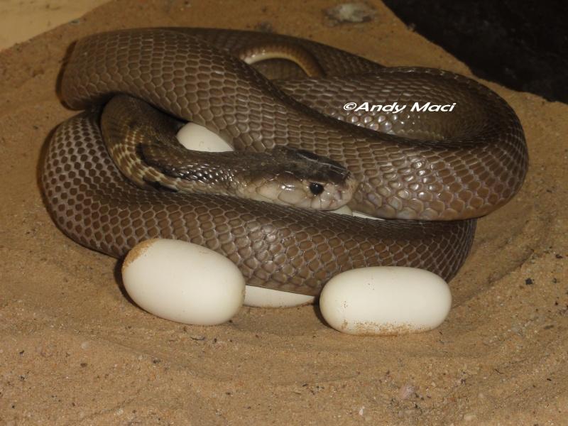1ere ponte et bebes de parents Naja kaouthia DH Calico/Amel Dsc02410