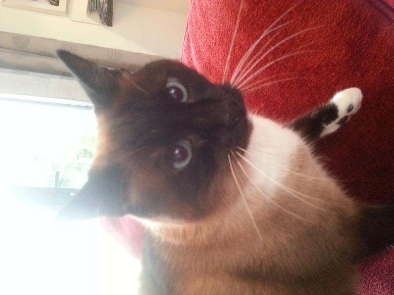Gringo, chat croisé siamois fauve et blanc, né en 2011 - Page 2 20151110