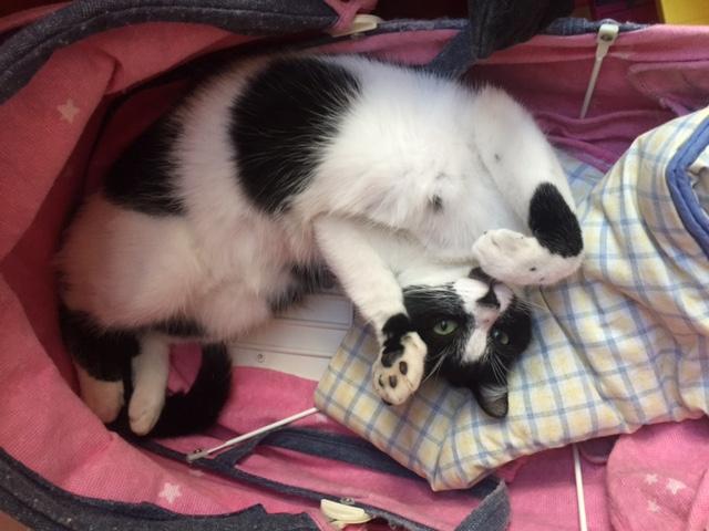 Jordan, chaton de type européen noir et blanc, né le 06/09/2014 Image110
