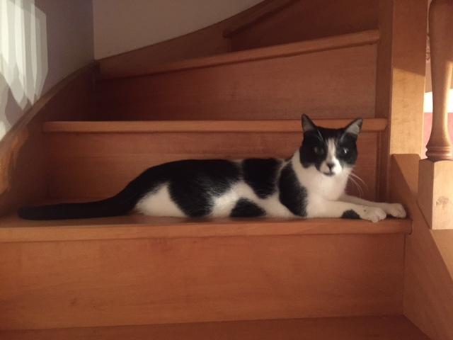 Jordan, chaton de type européen noir et blanc, né le 06/09/2014 Image212