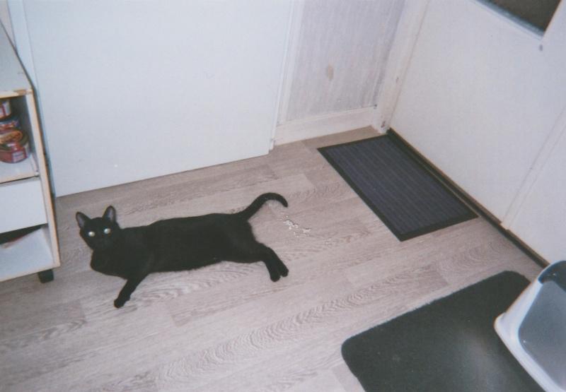 Jameson, chaton noir né le 11/04/2014 Jackso13