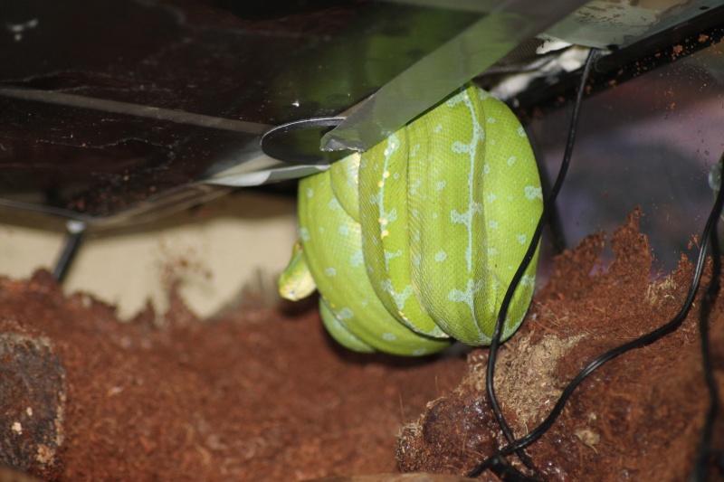 morelia viridis Img_2610