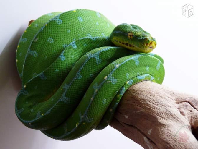 morelia viridis Moreli10