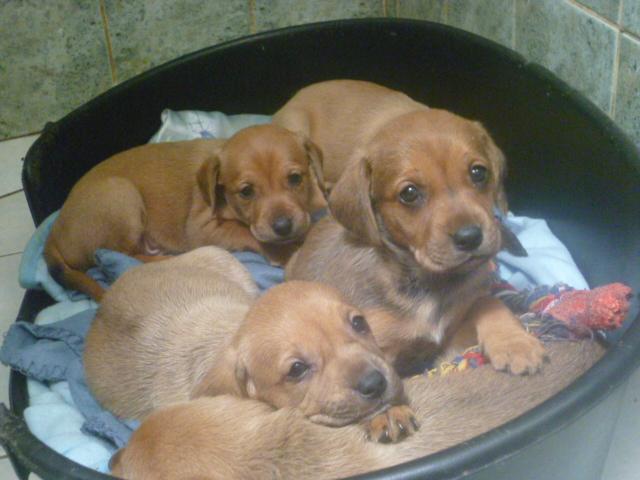 CHIOTS croisés beagle à réservé (ASSO GALIA 85) Beagle10