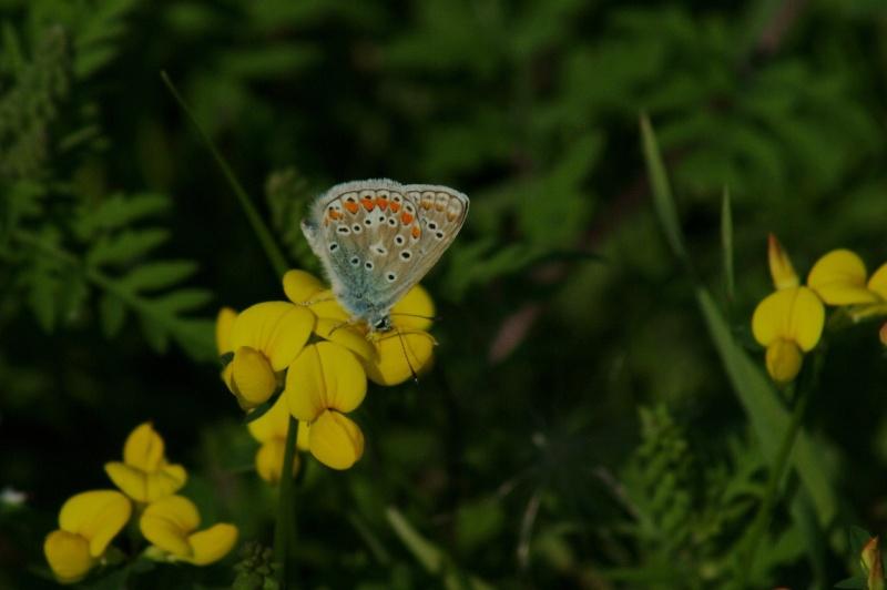 Papillon... Longue10