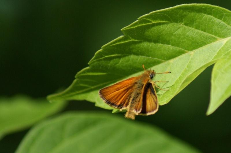 Papillons Longue13