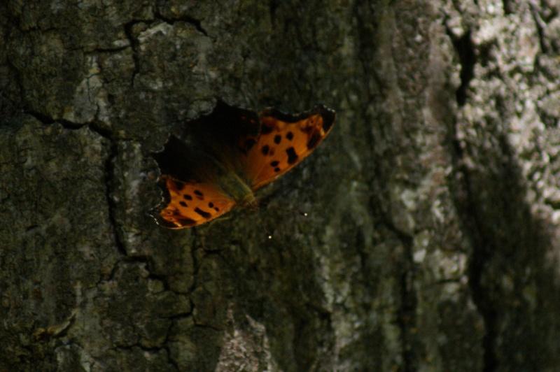 Papillons Longue14
