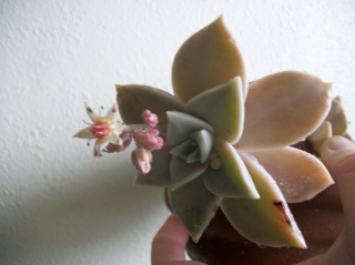 Graptopetalum paraguayense - Page 3 Photo232