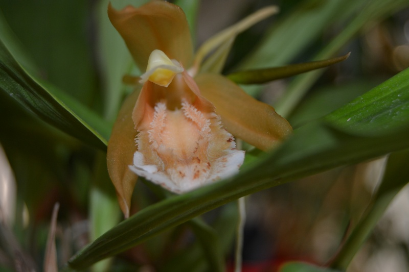 Coelogyne speciosa var.alba Coelog11