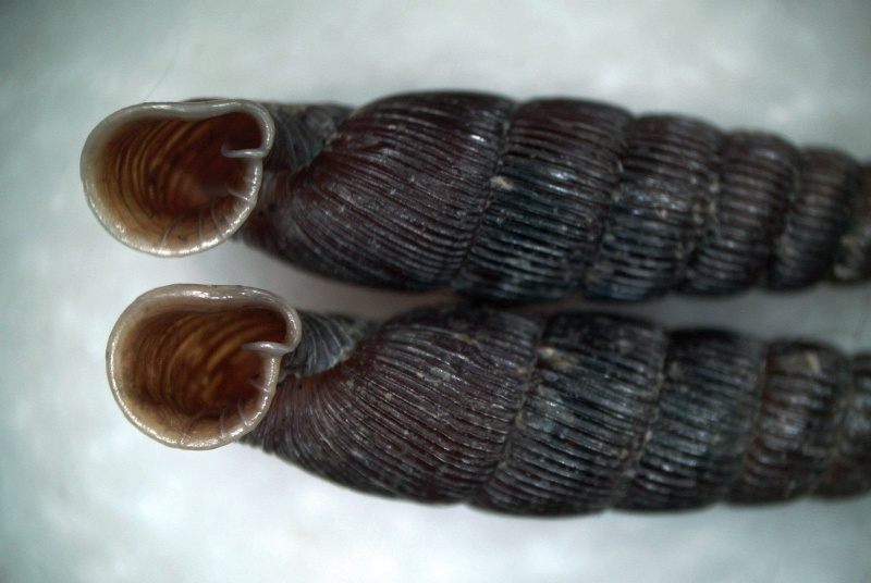 Neniatlanta pauli (Mabille, 1865) Neniat11