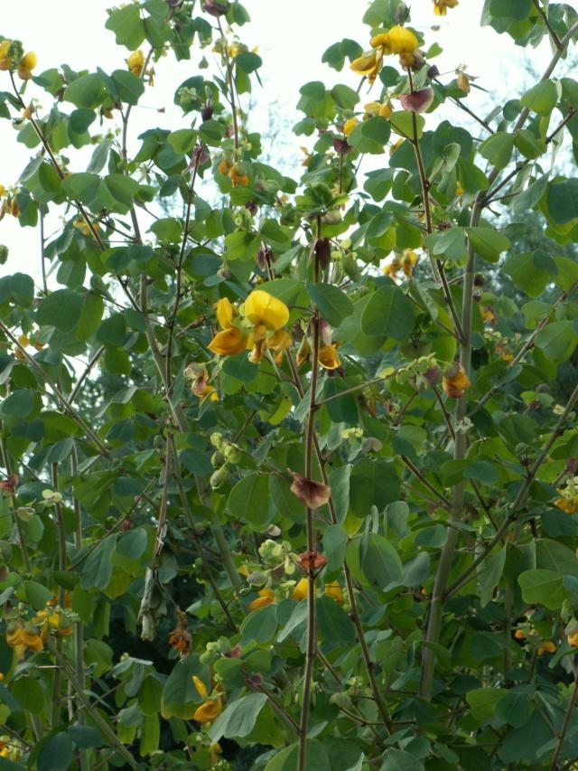 Amicia zygomeris  Amicia10