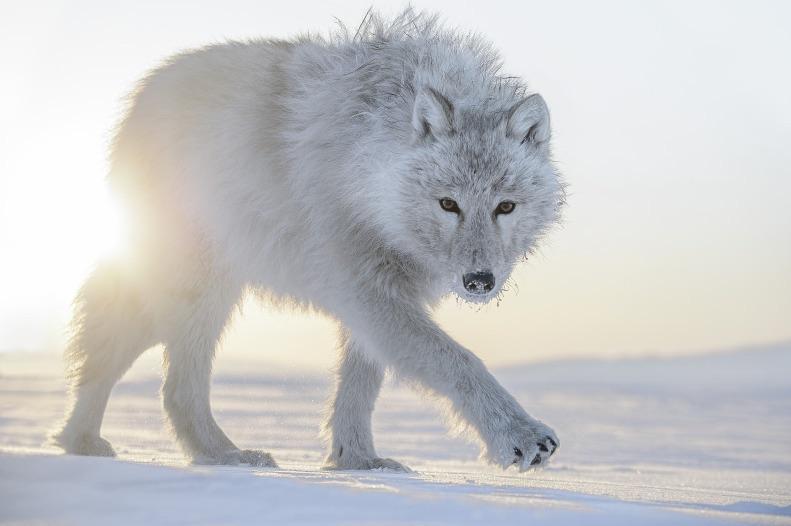 Vincent Munier et les loups arctiques... Image96