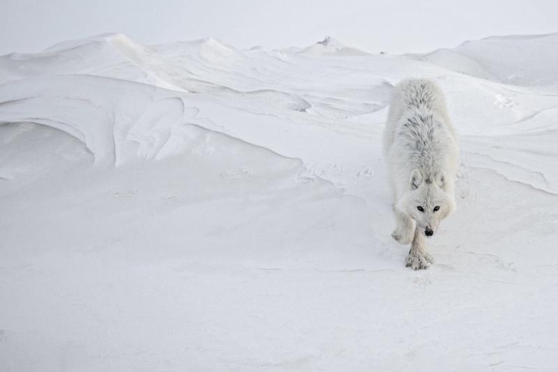 Vincent Munier et les loups arctiques... Image97