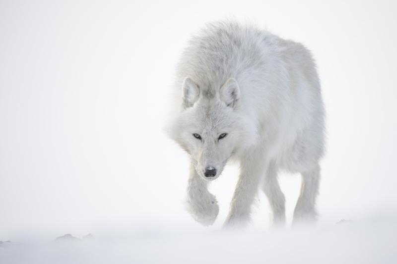 Vincent Munier et les loups arctiques... Image98