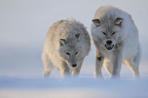 Vincent Munier et les loups arctiques... Image99