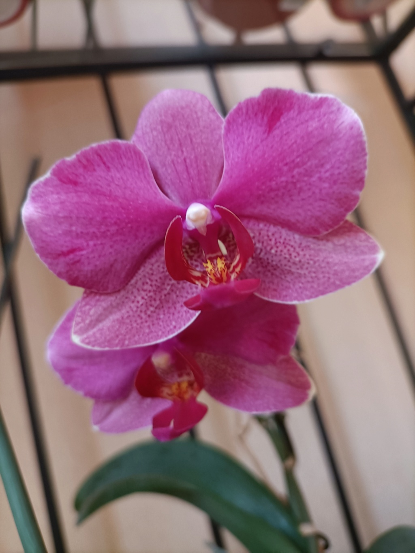 Floraison estivale de phalaenopsis - Page 2 Img20210