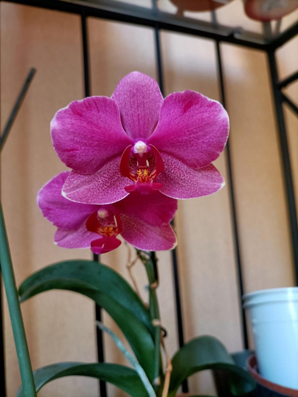 Floraison estivale de phalaenopsis - Page 2 Img20211