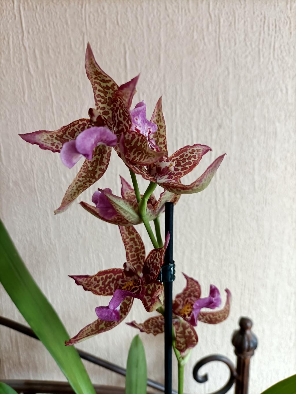 Orchidées 'cambria' : quels soins ? Img20220