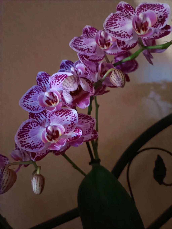 Phalaenopsis Img20222