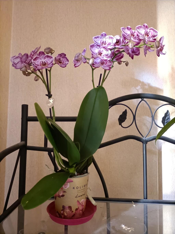 Phalaenopsis Img20223