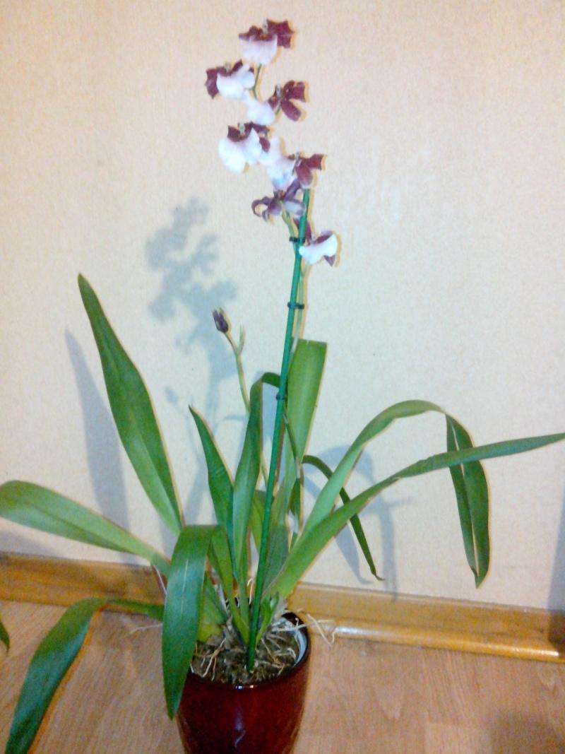 Miltonidium  Bartley Schwartz (hybride Odontoglossum-renommé Oncidopsis) - Page 2 Img_2013