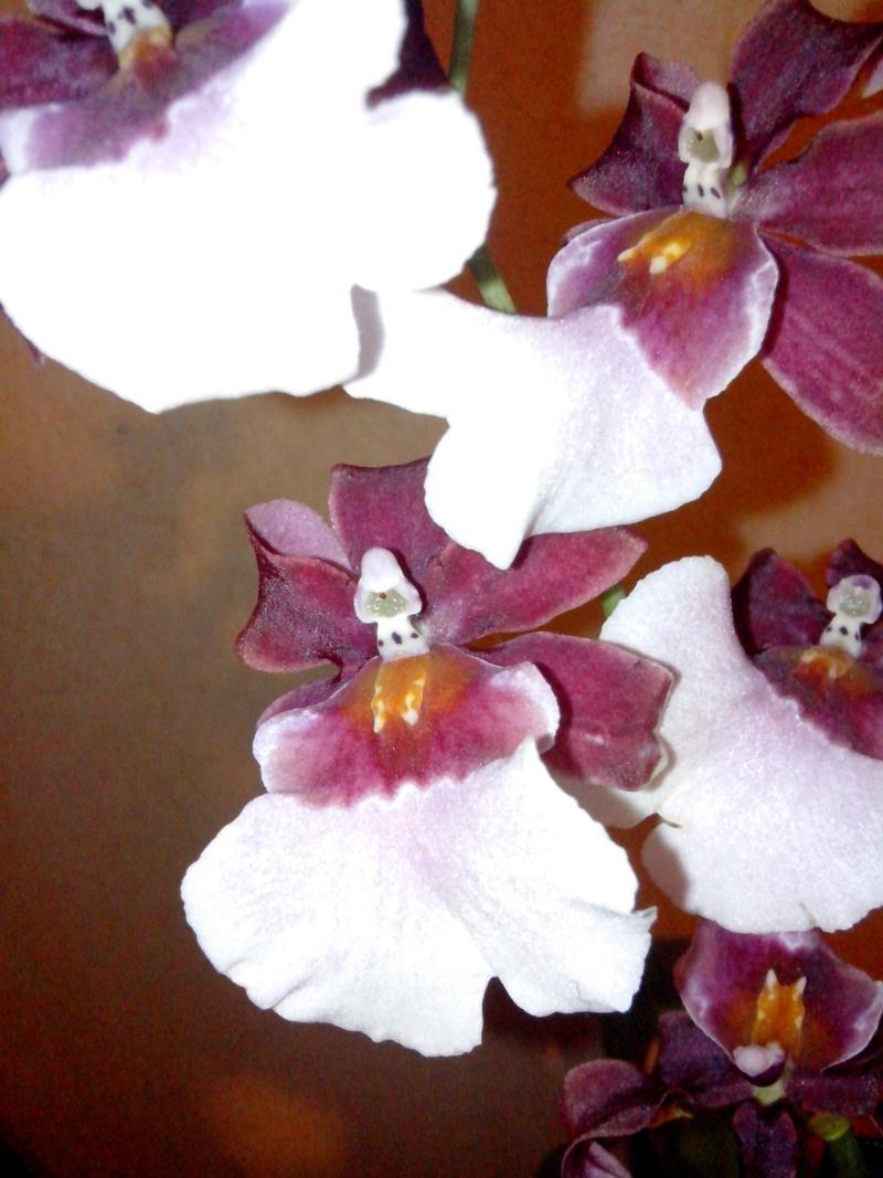 Miltonidium  Bartley Schwartz (hybride Odontoglossum-renommé Oncidopsis) - Page 2 Img_2014