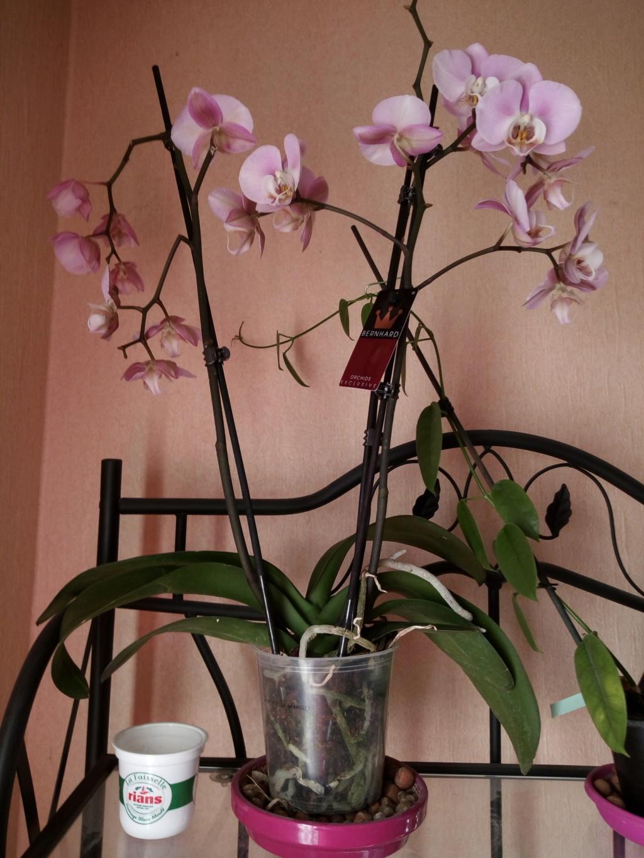 Phaleanopsis Img_2024