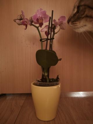 Mini phalaenopsis Img_2043