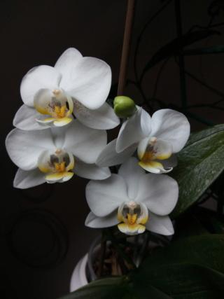 Refloraison maison phalaenopsis blanc Img_2056